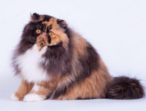 Двухцветная персидская кошка