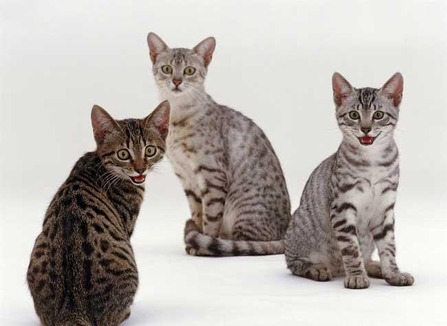 египетская кошка мау