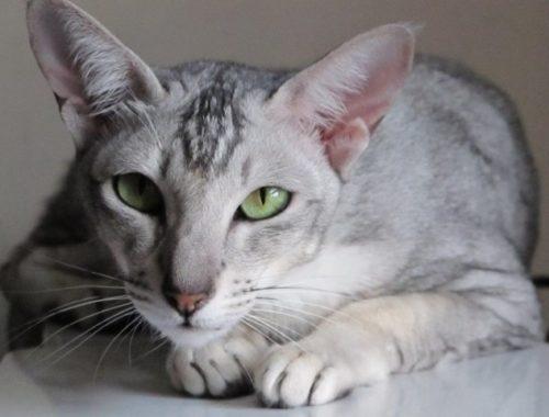 ВОСТОЧНАЯ (Ориентальная) кошка
