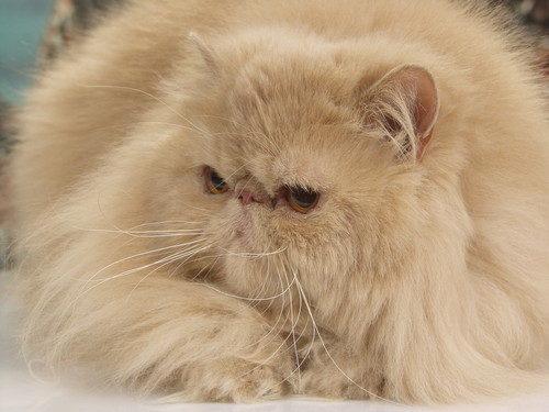 Персидская (кремовая) кошка